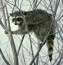 220px-Raccoon_climbing_in_tree_-_Cropped_and_color_corrected